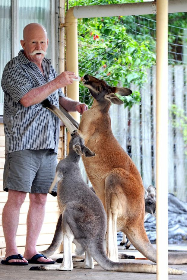 Red kangaroo standing next to person