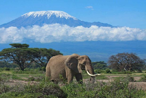 Elephant matriarch in front of Mount Kilimanjaro, Tanzania.