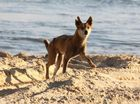 Group wants dingo facial recognition instead of ear tagging