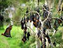 Bats cause havoc in Moranbah