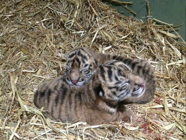 Australia Zoo's Sumatran tiger, Kaitlyn,delivered two critically endangered healthy tiger cubs.