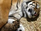 You little beauties: Australia Zoo's first tiger cubs born