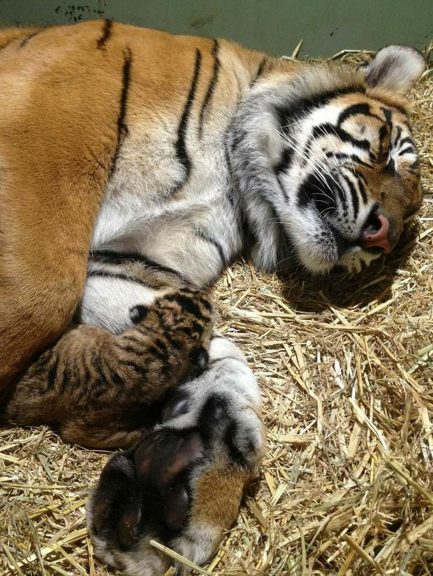 Australia Zoo's Sumatran tiger, Kaitlyn, has safely delivered two cubs.