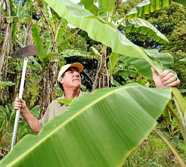 SAFEGUARD: Barry Sullivan inspects banana palms for any signs of disease.