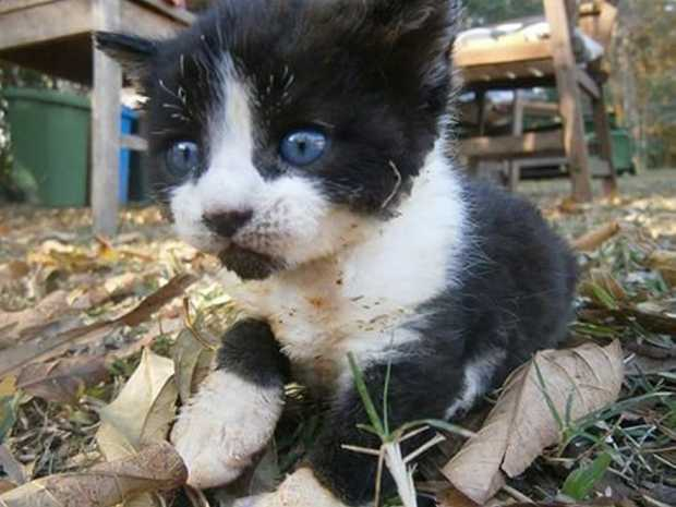 Kitten found by a rural fire brigade during Byfield bushfire. Photo: Contributed.