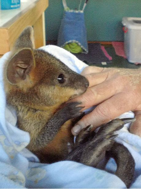 Mick Hussin of Frankston in Victoria rescued this wallaby in Byron Bay.