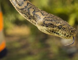 Newtown woman's snake bites the hand that feeds