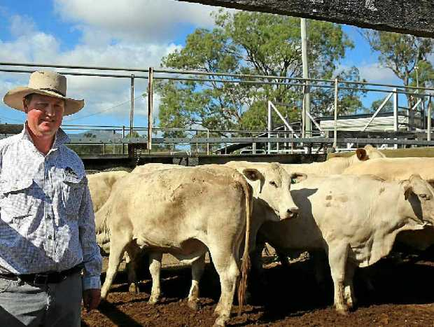 CHAROLAIS CROSS: Burnett Livestock and Realty's Paul Hastings with a pen of Charolais cross cows on account of SN Davies, Eidsvold. The cows sold for 142c/kg or $892 a head.
