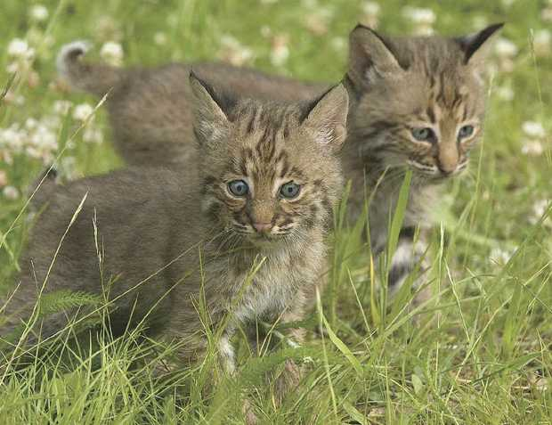 CUTE BUT LETHAL: Cats are one of the biggest threats to native animals.