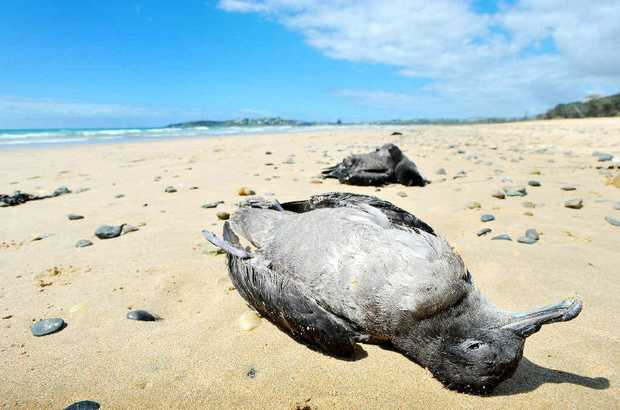 EXHAUSTED: Dead muttonbirds washed up near Coffs Harbour.