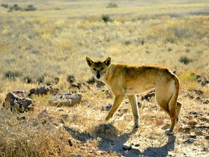 HUNTER HUNTED: Local farmers are stuck in a battle with wild dogs continuing to raid their livestock.