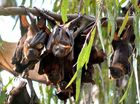 A SMALL fortune has been wasted temporarily move flying foxes out of Kearneys Spring Park.