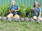 NEW HOME: Aldabra giant tortoise babies in their new enclosure with senior keeper Renae Radke and zoo director Stephanie Robinson.