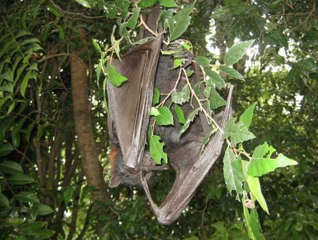 Hundreds of bats died due to heat exhaustion at Burpengary. Photo Contributed