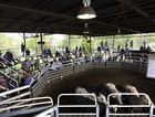 Fat Cattle Report: More than 700 head sold