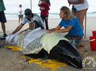 Whale found stranded on Brunswick Heads beach dies