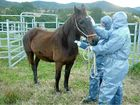 Biosecurity officers test a horse for the hendra virus.