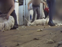 US and Australian wool industries exposed in shocking video