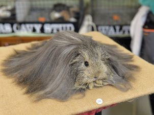 Sunshine Coast Cavy Club guinea pig show at the Nambour CWA Hall: One of Shane Walters Sheltie's, all groomed and ready for the judges. Photo: Brett Wortman / Sunshine Coast Daily