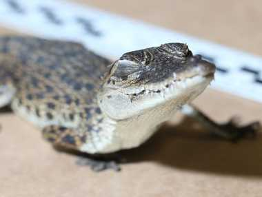 A 34cm baby crocodile was found in the possession of a 24-year-old truck driver in Mitchell this week. Photo Contributed