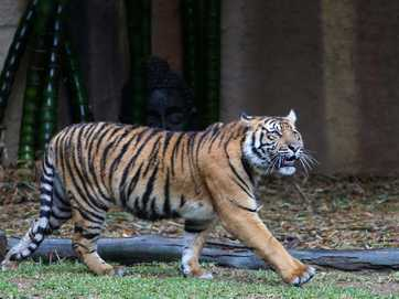 Australia Zoos tiger cubs Hunter and Clarence have turned 1.