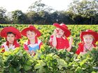 LIVE entertainment across three stages, rides, food stalls and tons of strawberries are on offer at the Sunshine Coast's biggest strawberry festival next month.