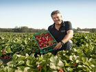 BARGAIN-PRICED strawberries are filling supermarket shelves while a new Stanthorpe farm prepares for its first harvest.