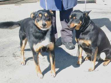 FRIENDLY PAIR: These Kelpie siblings are looking for a new home.