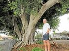 NINE historic Alstonville fig trees have been saved after the NSW Land and Environment Court overruled plans by the Department of Education to remove them.
