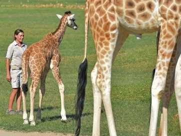 Meet Australia Zoo's newest giraffe babies.
