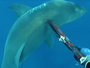 VIDEO: Spearfisher jabs great white shark off Sunshine Coast