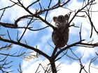 A koala was rescued from a Crawford yard after taking refuge in a poinciana tree.