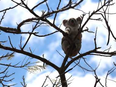 OUT ON A LIMB: This koala found himself in a poinciana tree in a Crawford yard with nowhere to go.