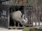 ONE of the northern white rhino's last breeding males died in Kenya, leaving only six of the species now left in the world.