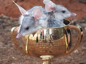 The race that stops the nation can help a race against extinction. Two bilbies get up close with the 2014 Melbourne Cup in Charleville.