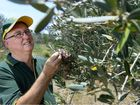 IN THE 92 days since Ian and Dot Roy's Lowood farm became drought declared, the olive grove has had only 67mm of rain.