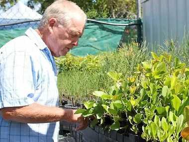 RIGHT PLANTS: SLCMA executive Ray Greaves inspecting native tube-stock at the SLCMA Community Native Nursery.