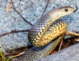 Eastern Brown snakes of QLD