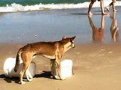 THE Save the Fraser Island Dingoes group has hit out at the State Government over the latest dingo death on the island.