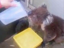 Thirsty koala appears in yard