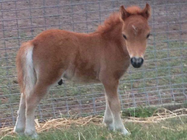 Foal Lost Mother Lost Foal Three-week-old