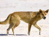 AN INCREASE in threatening dingo behaviour on Fraser Island has been recorded this summer compared to the previous corresponding period.