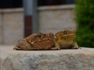 ON THE HOP: Toads for all the candidates for Nanango will race on Australia Day.