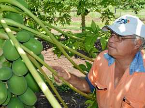 PASSIONATE GROWER: Brian Camilleri from Camilleri's Fresh Fruit has a diverse farm at Sarina.
