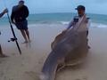 Monster shovelnose shark caught off Fraser Island
