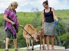 Pet love saving calves