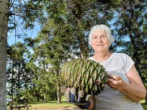 GREAT HARVEST: Audienne Blyth with a bunya pod from her bunya trees.