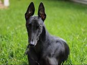 Lindsay from Buderim has been a dog lover all his life and recently adopted an ex-racing Greyhound from a member of the Greyhound racing syndicate in Ipswich.