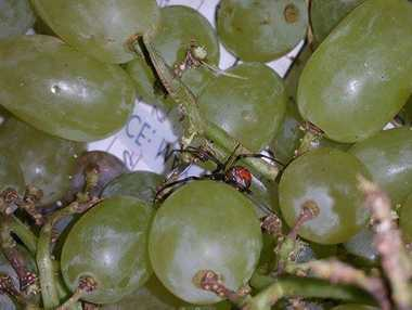 A woman found a red back spider in a bag of grapes she bought in a Rockhampton supermarket.