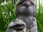 Frogmouth family portrait for Photo of the Day